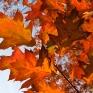 Rode bladeren Amerikaanse eik