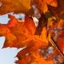 Rode bladeren Amerikaanse eik 2