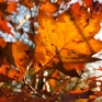 Rode bladeren Amerikaanse eik 3