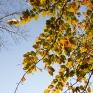 Groen-geel-bruine beukebladeren
